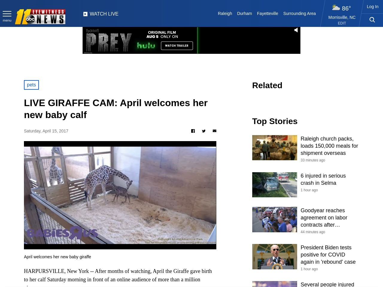 LIVE GIRAFFE CAM: April welcomes her new baby calf