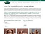 Rising Sun Farm | Australian Sheppard Puppy