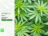 Purple Bubba Kush – buy bubba kush online   420kush-store  +1(315) 514-0199