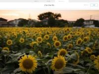 夕暮れ時の向日葵畑 - @かめらと。 / かしゃっと。